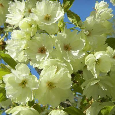 批发郁金樱两年年大苗 早樱晚樱品种 郁金樱树苗报价 绿化工程树