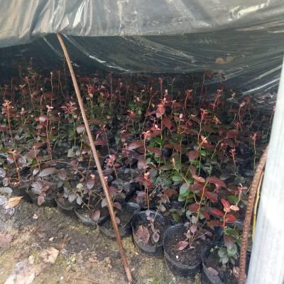 湖北80公分高钱德勒蓝莓苗什么时间种植