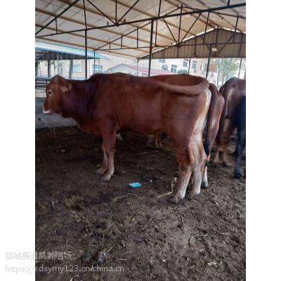 广西养什么肉牛 肉牛养殖成本 养什么品种的肉牛好 鲁西黄牛 免费运输