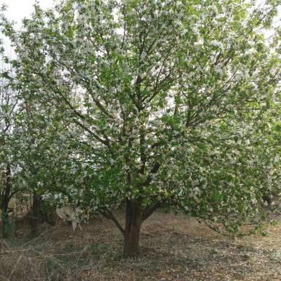河北怀来八棱海棠树 2020年春季开年大促 产地直供