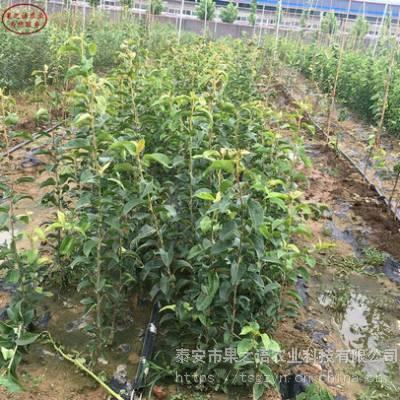 红南果梨树图片、红南果梨树新品种新价格