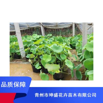 庭院喜湿水生植物_荷花盆苗哪里卖