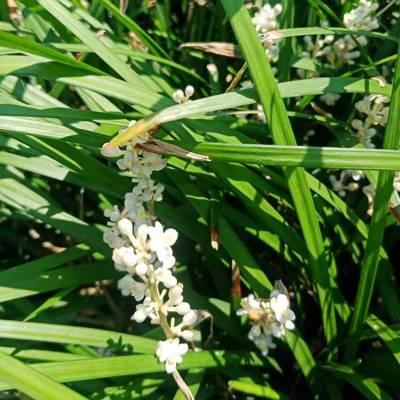 湖南郴州麦冬草 庭院别墅地被绿化用草坪批发价格 哪里有卖的