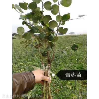 出售苹果枣苗 灵山县武利镇果丰果苗场