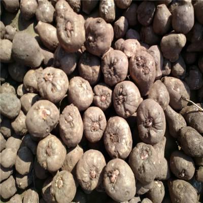 江口魔芋种子 云南魔芋收购厂家电话 吐鲁番魔芋种苗