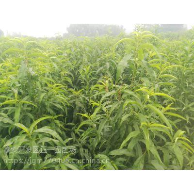 桃树苗种植/2年结果 量大价优/如何培育桃树苗-正一园艺场