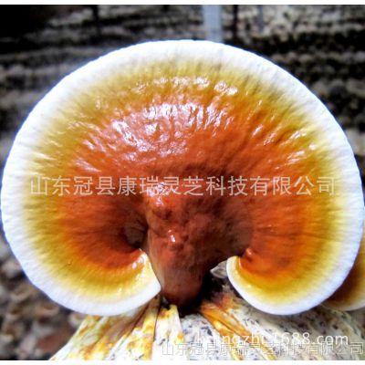 灵芝产地批发鲜灵芝 金边灵芝 活体赤灵芝 纯天然无公害 酒店煲汤