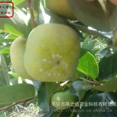 2公分柿子树 2公分柿子树品种 2公分柿子树价格实惠