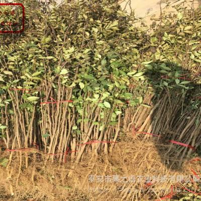 小红袍花椒苗价格、小红袍花椒苗领先的育苗技术