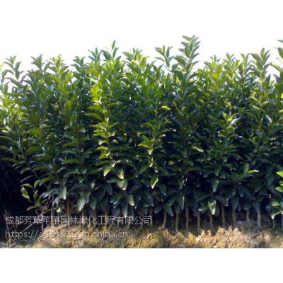 全国大量批发甜橙,及其他草坪苗木等品种齐全