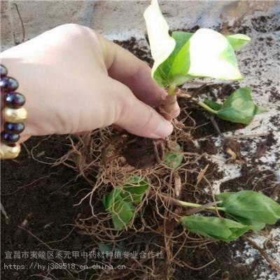 驻马店正阳野三七种植基地 竹节参基地批发采购 竹节参如何种植