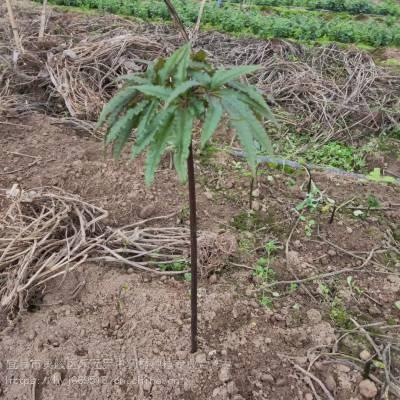 榆林吴堡野三七亩产多少 竹节参种子种苗哪里有 竹节参苗基地直销