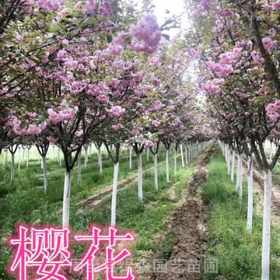陕西樱花树批发 高杆樱花工程乔木绿化行道树 周至绿森苗圃