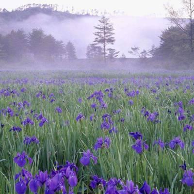 紫色鸢尾花 周期长 用于绿化