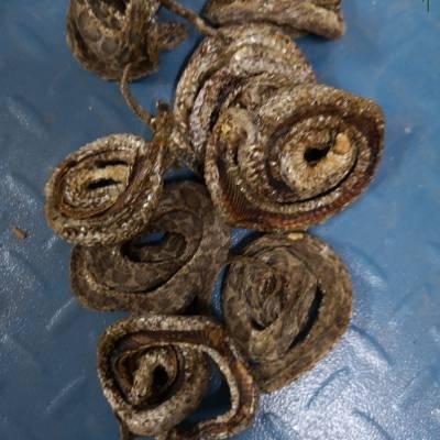 【中药材银环蛇】主治有什么作用 金钱蛇哪里可以购买多少钱一公斤