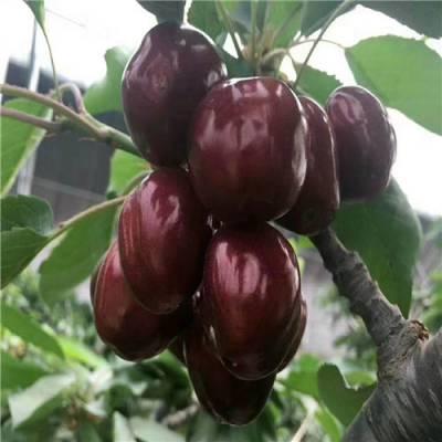 大樱桃苗有哪些品种