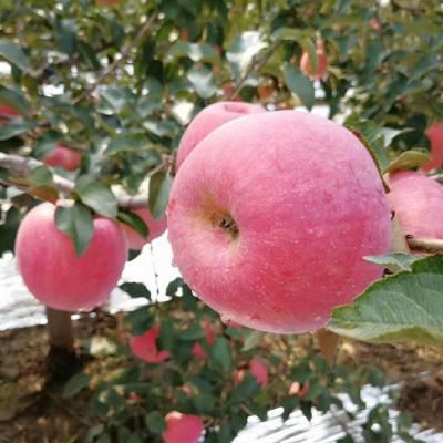 二公分寒富<b>苹果</b><b>苗</b>介绍 辽宁寒富<b>苹果</b><b>苗</b>