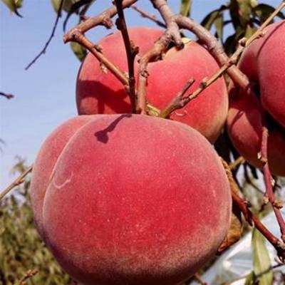 桃树苗基地 秋丽桃树苗 0.6公分桃树苗