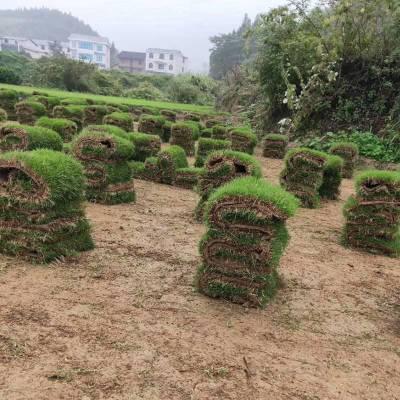马尼拉草坪 福建莆田校园操场绿化用的草皮批发价格 哪家强
