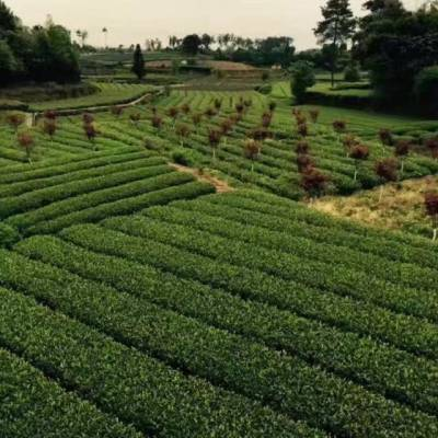 滁州市茶苗价格-种植基地茶苗价格