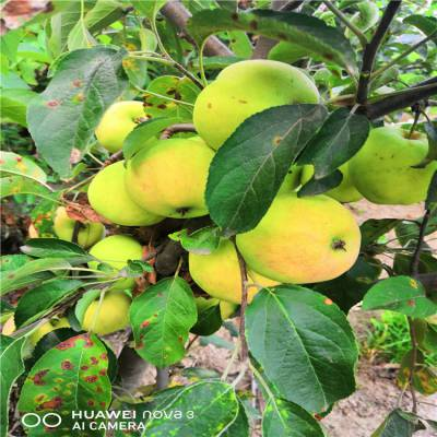 山东1公分苹果苗货源地 出售鲁丽苹果苗批发价格