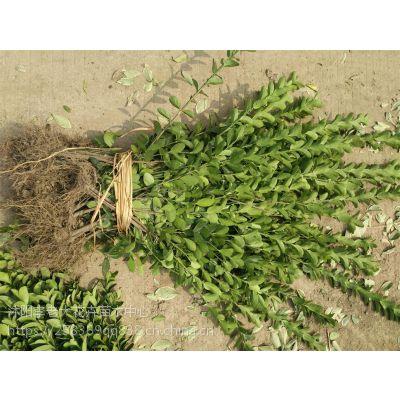 40公分高大叶黄杨小苗价格50公分高大叶黄杨小苗价格