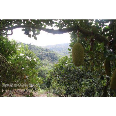 【浙江水果菠萝蜜基地直供】20-50斤 星皇果优齐木菠萝 生态水果树菠萝
