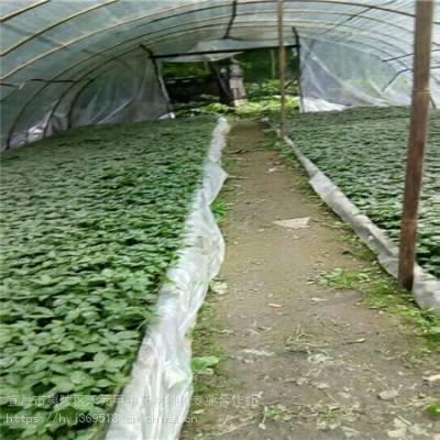 四川德阳野三七种植技术 竹节参基地批发采购 竹节参种植