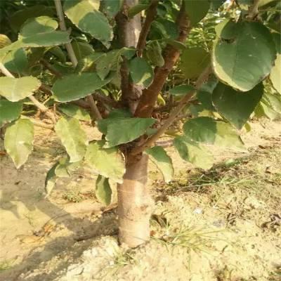 1公分樱桃苗 樱桃苗批发价格 三年樱桃苗 樱桃苗货源地