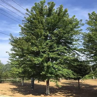徐州同创园林绿化(图)-8公分的美国红枫价格-美国红枫价格