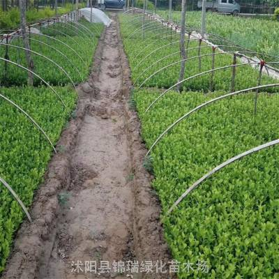 卫矛小苗急售 2000亩卫矛种植基地 一二年生卫矛小苗低价处理