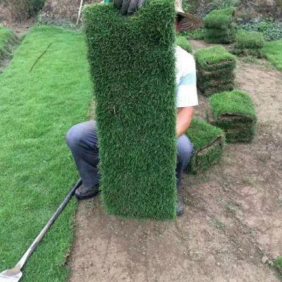 马尼拉草皮 福建漳州草坪砖绿地用的百慕大草坪批发价格 在哪里卖