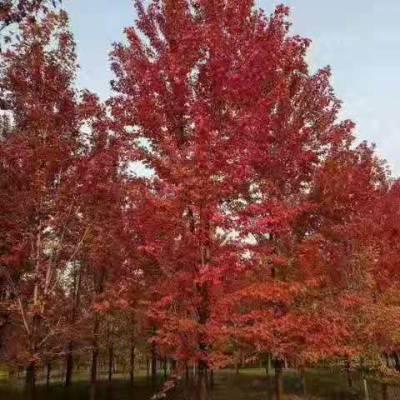10公分秋火焰红枫价格-贵州红枫价格-美之枫苗木(查看)