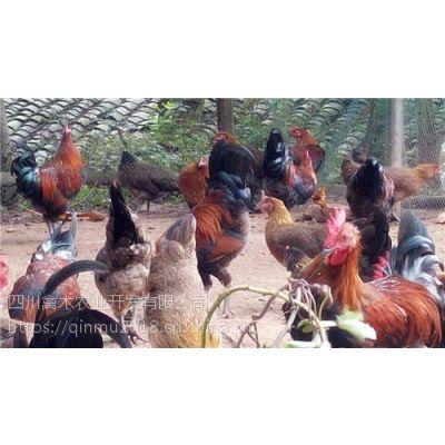 四川甘孜州养殖青脚黄羽鸡苗联系方式,优质鸡苗,可空运发货,价格从优