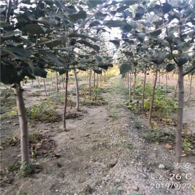 山东苹果苗批发价格优惠 3公分红将军苹果苗基地