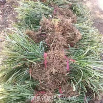 金边麦冬主产地在江苏沭阳 这里金边麦冬价格真的便宜