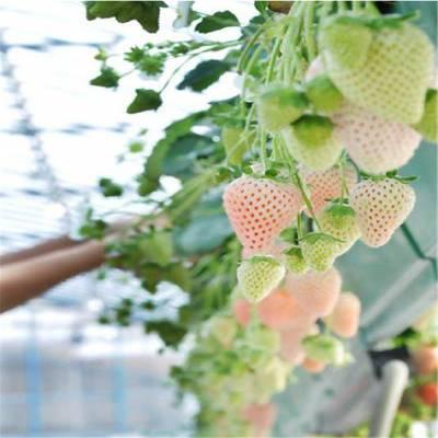 小白草莓苗价格多少、太空2008草莓苗价格、日本白草莓苗品种