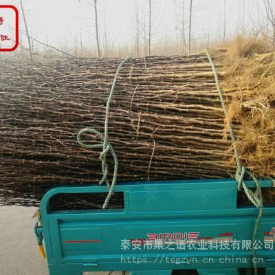 麻椒花椒苗价格、麻椒花椒苗种植技术