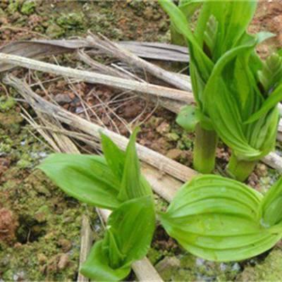 淮南马鞍山滁州天麻白芨重楼八角莲种植技术哪里可以学习