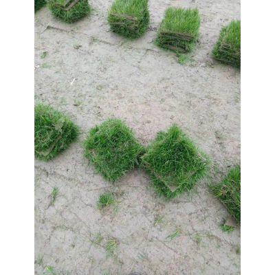 长发大量批发混播,沙坪果岭草草皮卷