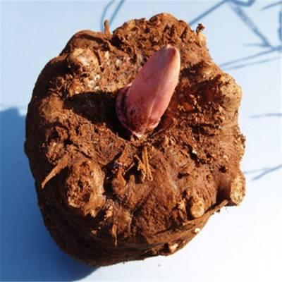 马关魔芋种子 魔芋种子销售 常德魔芋种苗