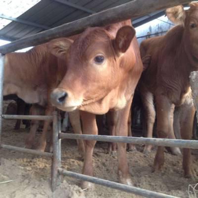 上海三个月肉牛犊养殖场 嘉祥县华盛养殖场供应