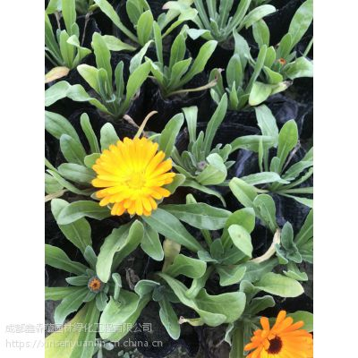 成都苗木基地,大量出售草花金盏菊批发基地,花期长,金盏菊工程苗
