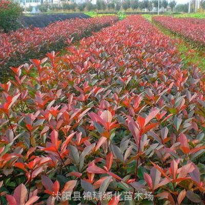 今年红叶石楠小苗哪里便宜 便宜的红叶石楠小苗价格看这里