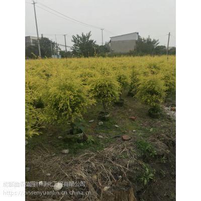 成都基地大量种植出售袋苗的千层金,高度0.1-5米都有哦