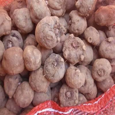 荔波魔芋种子 云南魔芋种植技术视频 咸宁魔芋种苗