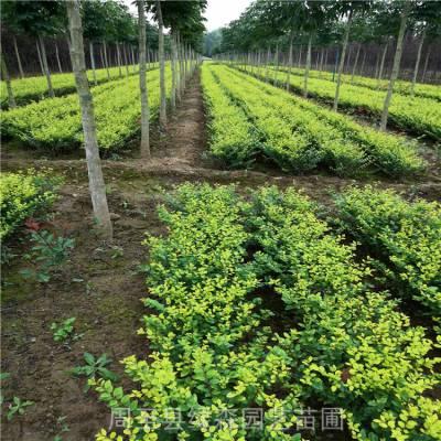 金叶女贞60高绿篱苗供应 庭院工程绿化黄叶女贞 周至绿化苗木行情