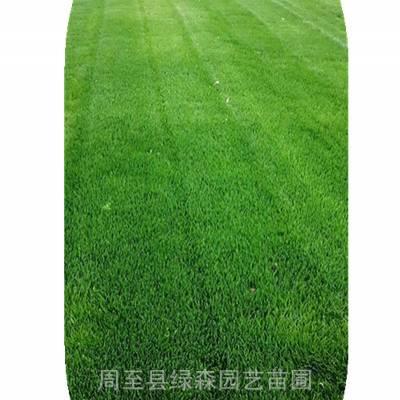 陕西草坪基地 优质混播草坪高羊茅 绿化苗木最新价格