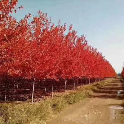 瑞森苗木 10公分美国红枫价格 八公分美国红枫***价格