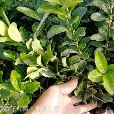 山东小区绿化施工单位,小区绿化树苗批发